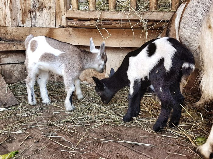 High angle view of goats on field