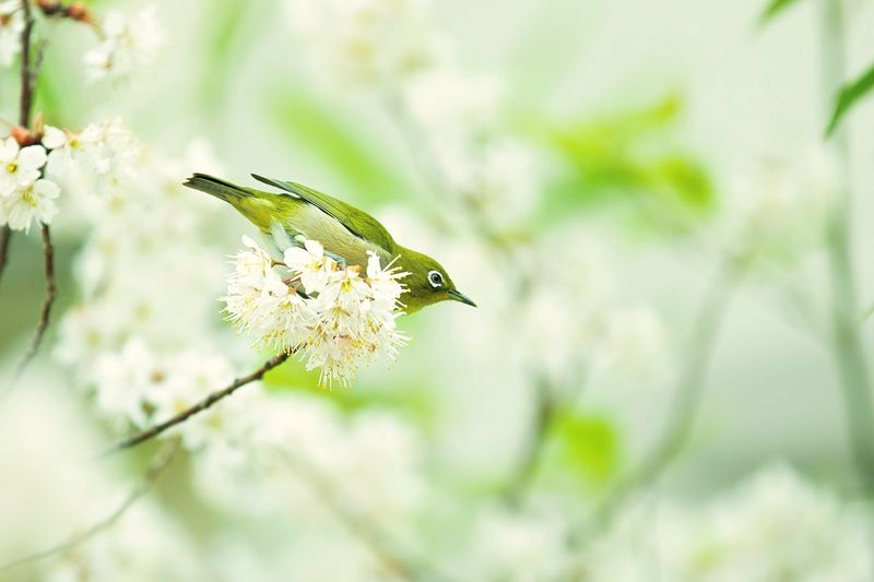 Bokeh Photography Bokeh In Blossom Blossoming  Blossoms  Ume Blossom Ume Blossom Japanese White-eye Mejiro Animal Themes One Animal Animal Animal Wildlife Animals In The Wild Plant No People Invertebrate Nature Beauty In Nature Tree Focus On Foreground Vertebrate Bird Fragility Day Animal Wing