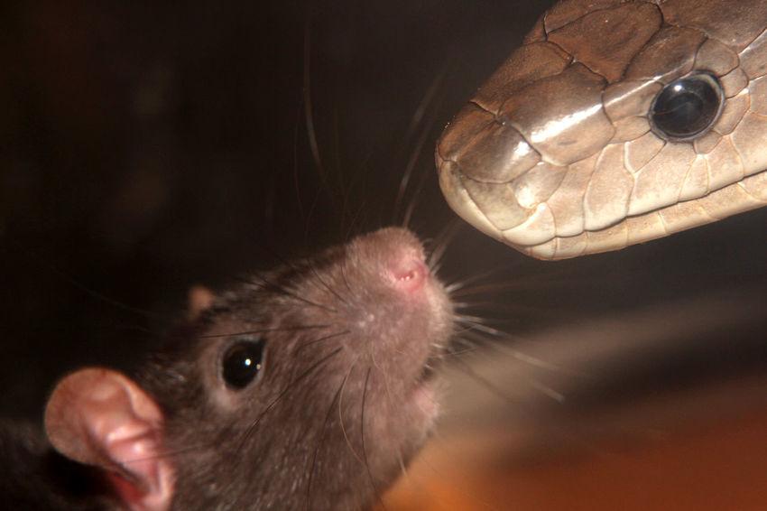 Animal Head  Black Mamba Match Rats Snake Snake Photography Terrazoo TerraZoo Rheinberg