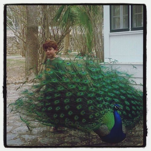my son is a ninja...creeping up on a peacock! Atxkids Discover Your City Bird Photography