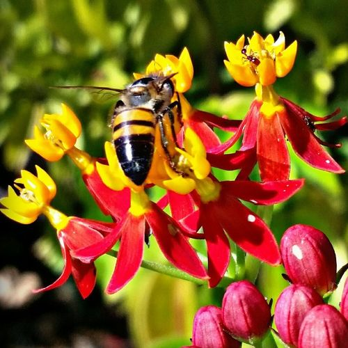 Bees And Flowers Flower Insect Nature Beauty In Nature Plant Pollination Bee Bees Beesonflowers Bees At Work Bees Flower Wildlife Nature Petal Close-up Symbiotic Relationship Buzzing Freshness Day Busybee EyeEm Nature Lover
