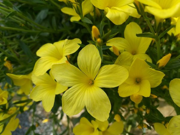 Yellow Yellow Flower Yellow Color Yellow Flowers Yellow And Green Flower Flowers Spring Springtime Plant Nature Beauty In Nature Close-up Close Up Flower Close Up Flowers Freshness Growth Kew Gardens, London Smartphonephotography Botanic Garden Botany Flower Buds Flowers And Buds.. Bright Colors Flowers, Nature And Beauty