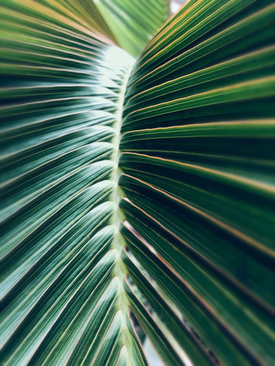 Palm tree leaves Growth Green Color Leaf Plant Part Palm Tree Plant No People Beauty In Nature Nature Close-up Natural Pattern Palm Leaf Tropical Climate Pattern Frond Outdoors Leaves Day Backgrounds Full Frame Tree