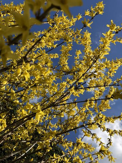 Backgrounds Beauty In Nature Blooming Blossom Botany Branch Close-up Day Flower Head Forsythia Forsythia Flowers Fragility Freshness Full Frame Growth Low Angle View Nature No People Outdoors Sky Springtime Tree