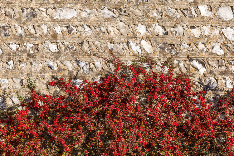 A Cotoneaster Bush Berries Plant Red Architecture Beauty In Nature Berry Building Exterior Built Structure Bush Close-up Cotoneaster Day Flower Freshness Growth Nature No People Outdoors Plant Red Red Berries