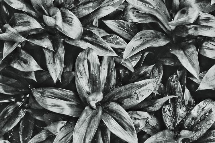 High Angle View Nikonphotography Nikon D90 Leaves Like Stars Bnw Bnw_collection Bnw_captures Outdoors Outdoor Photography Bnw_collection Bnw_captures Bnw_life Nikon Collection Eyeem Philippines Nikon D90 Outdoor Photography Outdoors Plants Leaves Like Stars Full Frame Backgrounds Growth Plant Nature No People Flower