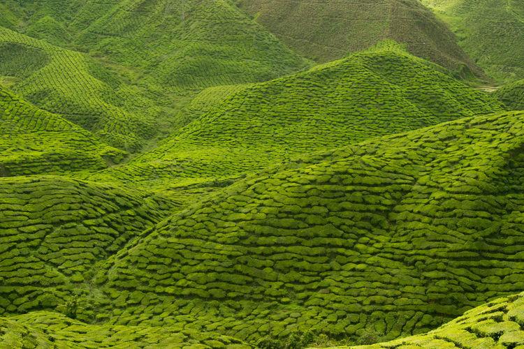 Cameron Highlands Green Color Lines Nature Photography Tea Hill Pattern Plantation Tea Crop