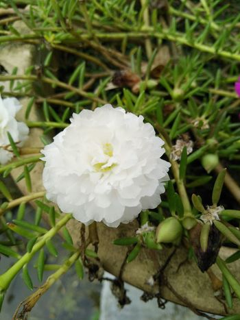Crafted Beauty Close-up Nature Flower Plant Beauty In Nature Growth Flower Head Leaf White Flowers Plants And Garden White Flower Petals Flowerslovers My Garden @my Home