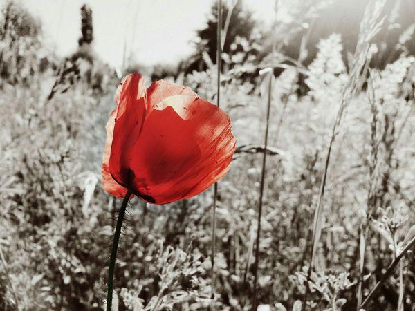 Flower Red Field