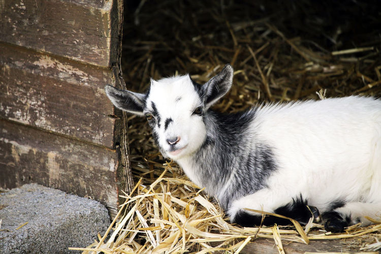 A young goat sitting in straw. Farm Goats Animal Animal Themes Animal Wildlife Day Goat Hay Herbivorous Kid Livestock Looking Mammal Nature No People One Animal Outdoors Vertebrate Wall - Building Feature White Color Young Animal