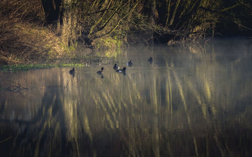 Early morning walk by the river, Mist rolls on the water. Tranquility. Misty Nature Photography Tranquil Morning Tranquility Animal Themes Animal Wildlife Animals In The Wild Beauty In Nature Bird Day Lake Mist Misty Morning Misty Mornings Nature No People Outdoors Reflection Reflections Reflections In The Water Swimming Togetherness Tranquil Scene Tree Water