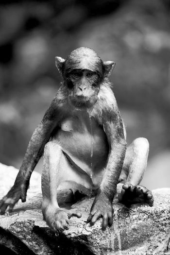 Monochrome Photography Monkey Black And White