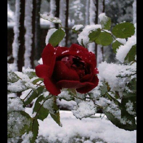 No se no con que cámara la tiré Santamariadepalautordera Canpaga Rosa Rosas