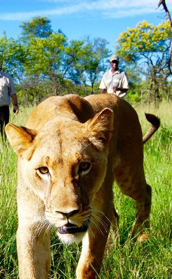 Lion Wildlife Animals South Africa Park Kruger Original Experiences Showcase June