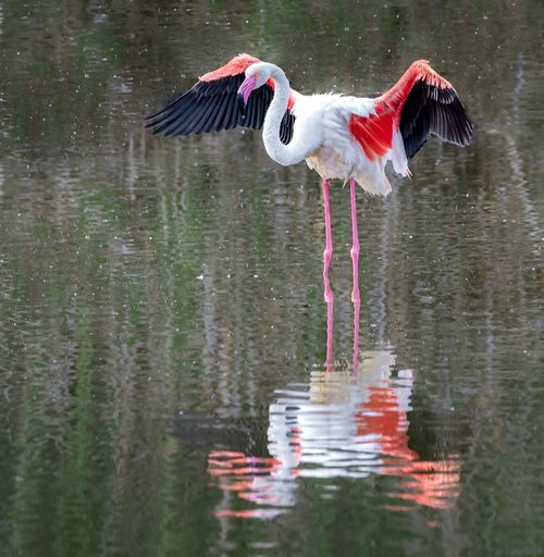 Flamingo Bird Animal Themes Animal Vertebrate Water Animals In The Wild Animal Wildlife Lake Nature No People Waterfront Spread Wings Beauty In Nature Flapping Outdoors Day Reflection