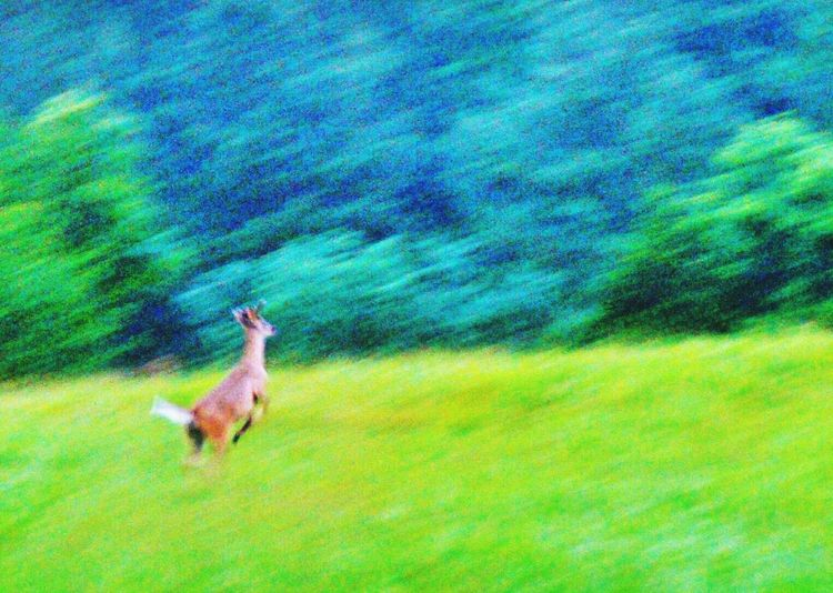 Capturing Movement A young Whitetail Buck in flight!!