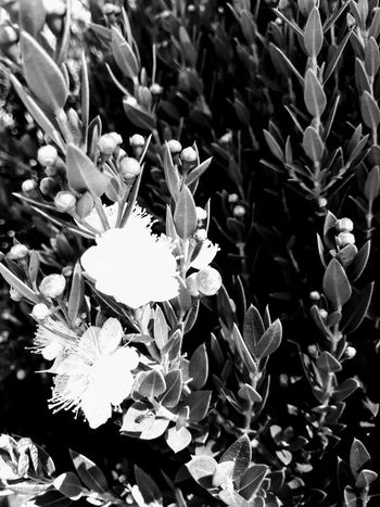 White blooms 2 White Flower Santa Rosa CA Plant Flower Flowering Plant Growth Beauty In Nature Vulnerability  Freshness Fragility Close-up Petal Flower Head Leaf Day Nature