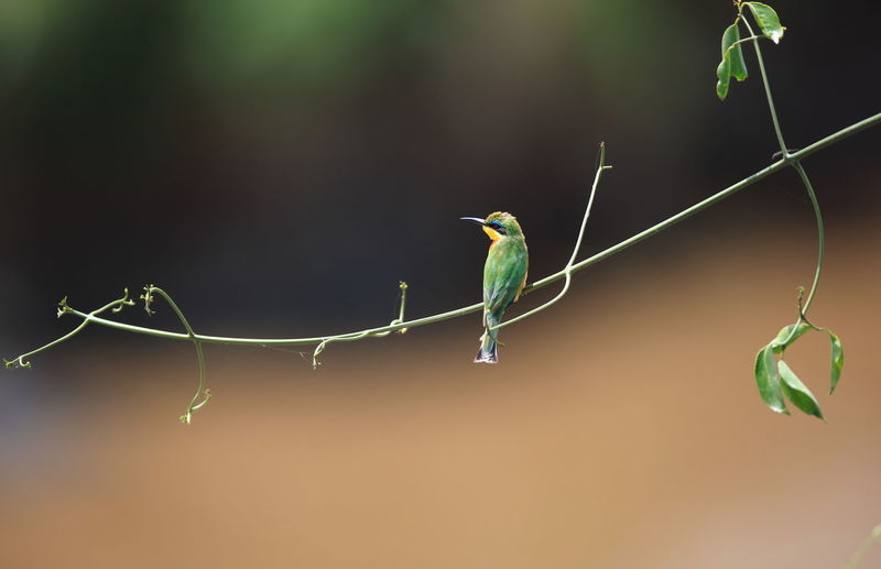 Bee-eater perching on plant