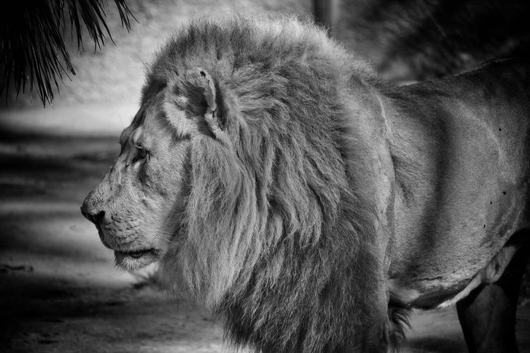 Black and white profile of an African lion Lion African Lion Big Cat Safari Animals Lion - Feline Carnivora Mane Roaring