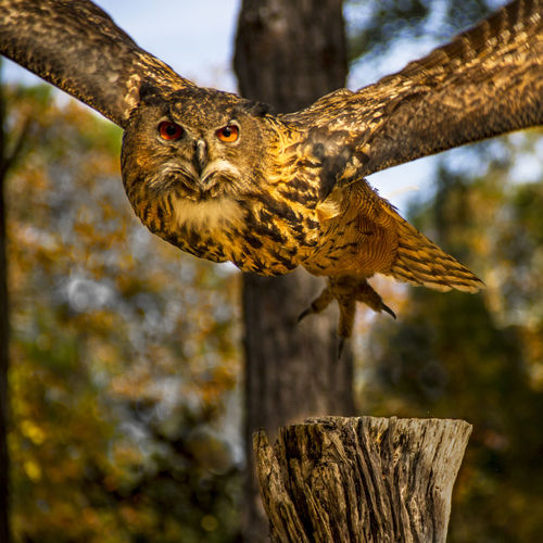 Close-up of owl flying