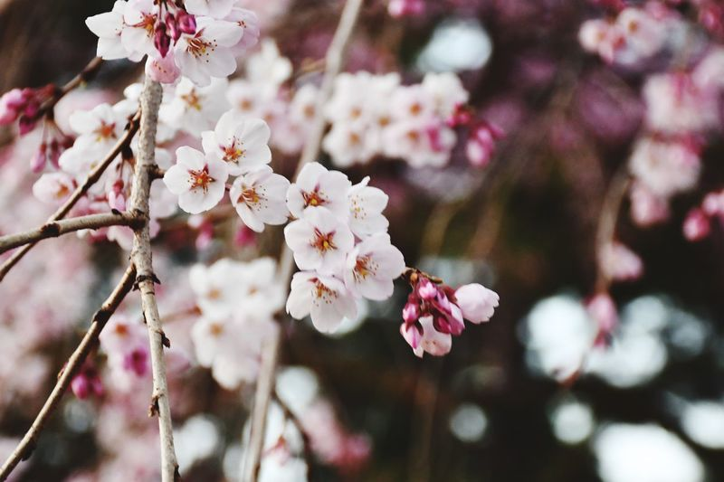 Cherry Blossom Sakura EyeEm Selects Flower Flowering Plant Plant Fragility Freshness Growth Close-up Branch Blossom Tree Pink Color Springtime Day