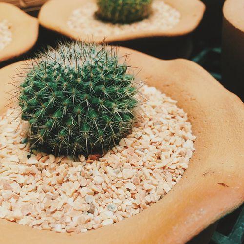 c a c t u s Cactus Planting