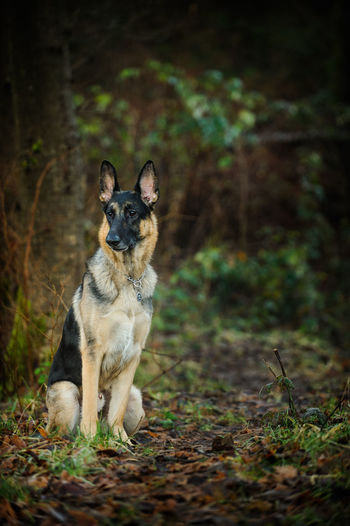 German Shepherd dog Animal Day Dog Domestic Animals Full Length German Shepherd Natural Light No People One Animal Outdoors Pet Shepherd Vertical