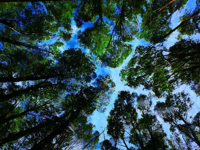 Rebirth Spring Springtime Awakening Of Nature Top Of The Tree Nature Tree Forest Clear Sky Backgrounds Tree Area Blue Full Frame Sky Green Color Treetop Branch Woods Tree Trunk Directly Below WoodLand