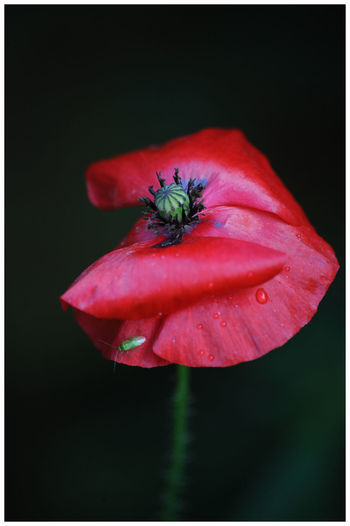 Flower Petal Fragility Flower Head Beauty In Nature Freshness Red Nature Plant Poppy Close-up Growth Outdoors Garden Flower Macro Light And Shadow Growth Beauty In Nature Focus On Foreground Garden Flowers Dark Background Symbol Of Rememberance Poppy Flower