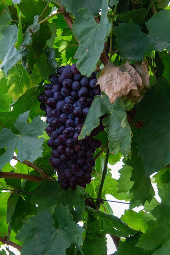 Close-up of fruits growing in vineyard
