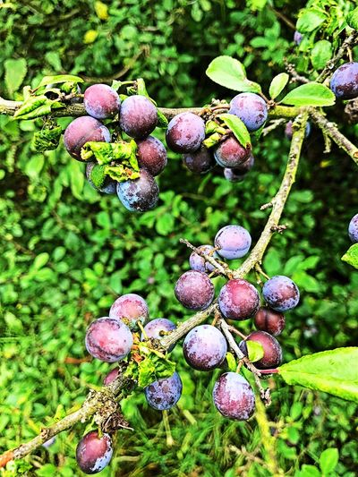 Fruit Close-up Plant Food And Drink No People Nature Green Color Outdoors Day Growth Freshness Food Beauty In Nature Healthy Eating Tree