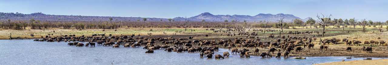Herd of water buffalo in forest