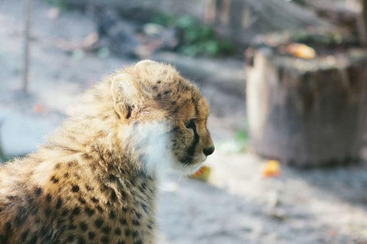 Side view of cheetah cub looking away