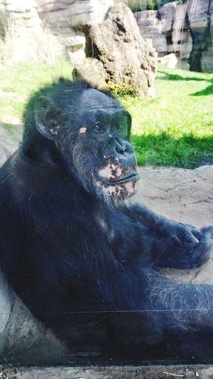 Zoo Schimpanse