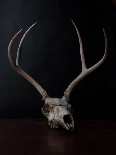 Animal Head  Animal Skull Animal Themes Antler Close-up Day Deer Horned Hunting Indoors  No People Reindeer Stag Taxidermy