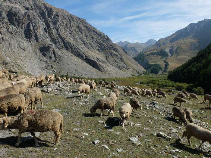 Flock of sheep on a mountain