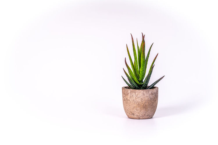 Plant Studio Shot Copy Space Potted Plant Indoors  Nature No People Green Color Growth White Background Succulent Plant Close-up Leaf Beauty In Nature Single Object Plant Part Herb Cut Out Freshness Flower Pot Houseplant Small