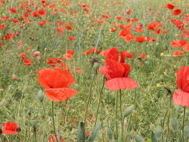 poppy Colors Herbaceous Plant Nature Papaveraceae Red Day Flora Floral Flower Flowers Fragility Garden Nature Opium Outdoors Petal Petals Petiole Plant Poppy Flowers Red Red Flower Spring Vulnerability