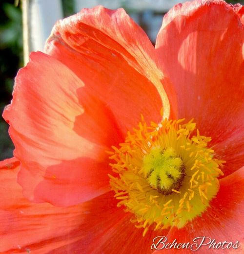 California poppy Passionforflowers Flower Macro