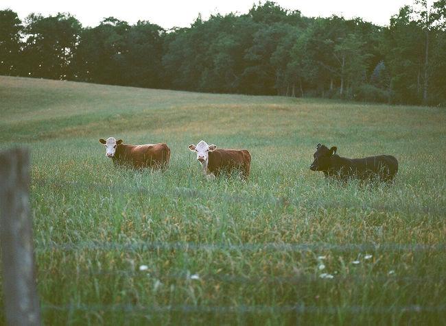 Cows Farmland Outdoor Photography Medium Format Medium Format Camera Film Film Photography Ektar100 120 Film Mamiya M645 1000s MAMIYA645 Mamiya 645