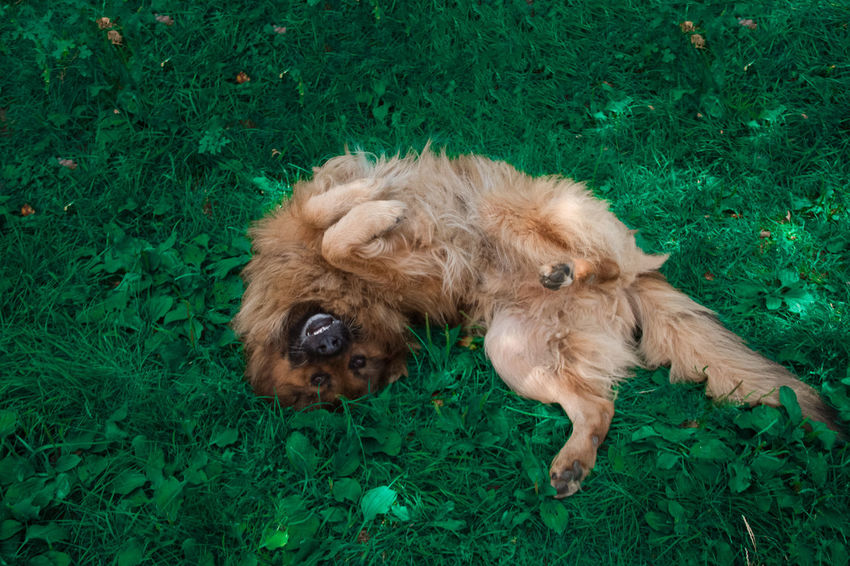 Crazy Dog Crazy Face Animal Themes Brown Crazy Dog Day Dog Domestic Animals Field Grass Green Color High Angle View Mammal Nature No People One Animal Outdoors Pets