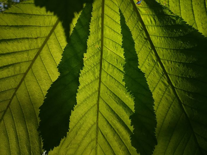 Photosynthesis Leaf Patterns🍂 Leaf Veins Green Greenery Horse Chestnut Leaves Green Leaves Sunlight Conkertree Tree This Week On Eyeem Close-up Macro Beauty Natures Diversities Fine Art Photography Monochrome Photography Maximum Closeness Perspectives On Nature Capture Tomorrow