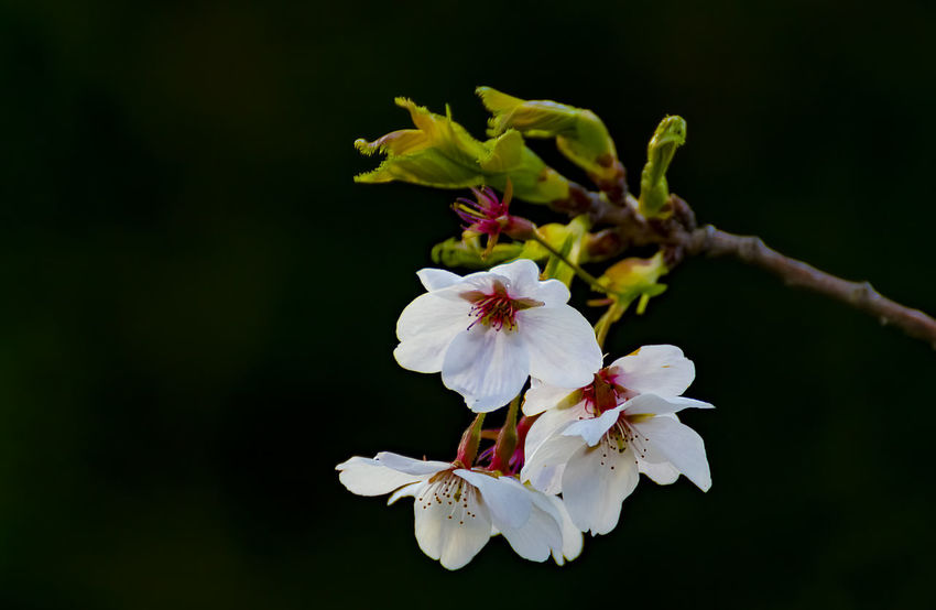 White Cherry Blossom Beauty In Nature Black Background Blossom Branch Close-up Day Flower Flower Head Fragility Freshness Growth Nature No People Outdoors Petal Pistil Pollen Springtime Stamen White Cherry Blossom
