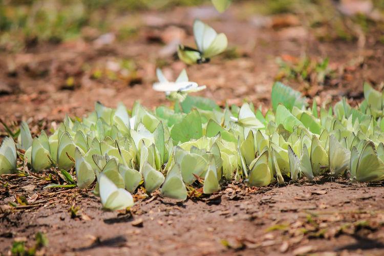 Butterflies on field