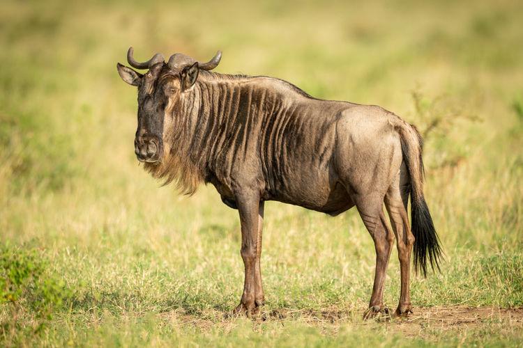 Wildebeest standing on grassy land