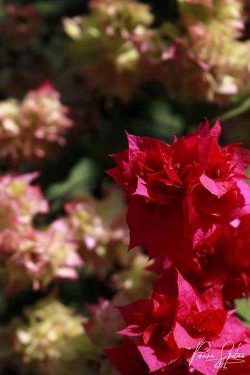 Flower Petal Beauty In Nature Nature Fragility Growth Red Outdoors Freshness Blooming Day