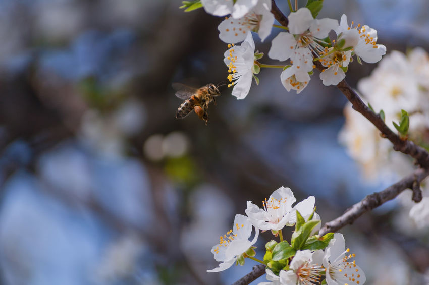 Bee 🐝 at work Beauty In Nature Bee Blossom Cherry Blossom Close-up Day Flower Flower Head Flowering Plant Focus On Foreground Fragility Freshness Growth Insect Nature Outdoors Petal Plant Polen Pollen Pollination Springtime Tree Vulnerability  White Color
