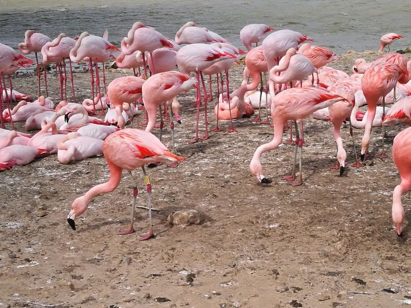 Sigeanreserveafricaine Flamingo Bird Colony Pink Color Flock Of Birds Animal Themes First Eyeem Photo