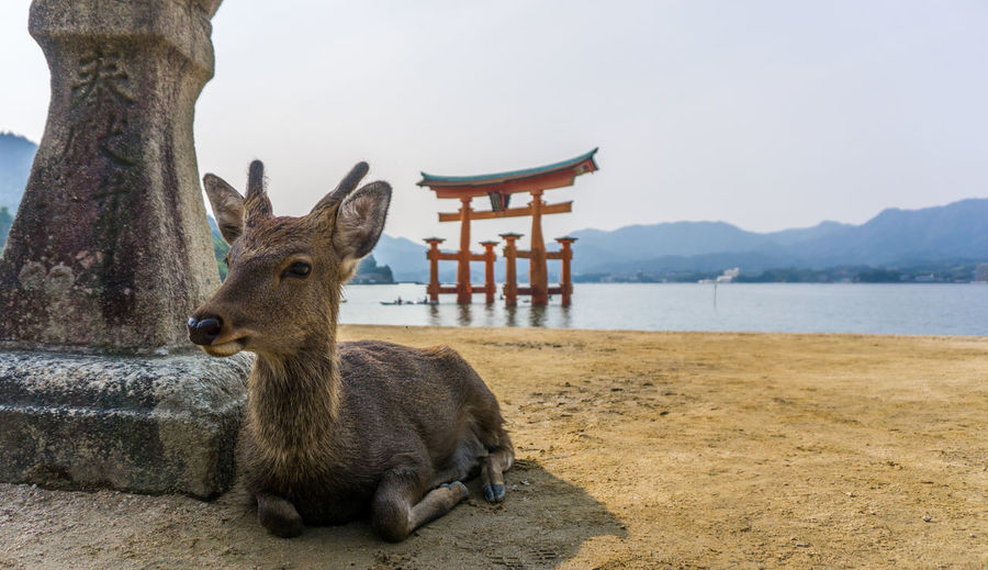 Deer relaxing against itsukushima shrine