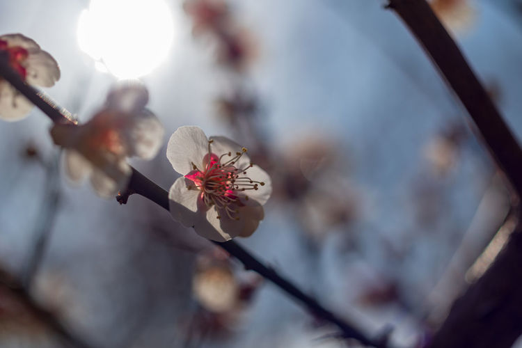 Flower Flowering Plant Plant Beauty In Nature Fragility Growth Freshness Vulnerability  Close-up Blossom Branch Springtime Selective Focus Tree Focus On Foreground Nature Plum Blossom Petal No People Pollen Flower Head Cherry Blossom Outdoors Cherry Tree